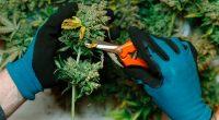 Cannara Biotech harvests first cannabis crop
