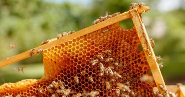 Bee Vectoring Technologies (TSXV:BEE) to conduct blueberry trials