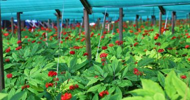 Imperial Ginseng (TSXV:IGP) aborts crop plans as market struggles