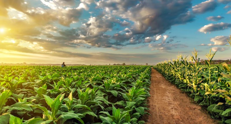 """MustGrow Biologics (CSE:MGRO) reports positive tobacco field trial results versus synthetic chemical """"chloropicrin"""""""