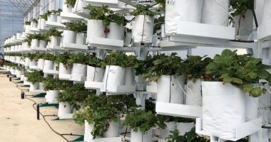 Affinor Growers (CSE:AFI) orders vertical growing towers for showcase facility in Abbotsford