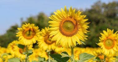 Bee Vectoring Technologies (CSE:BEE) gains momentum in the US sunflower market
