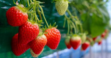 Affinor Growers (CSE:AFI) appoints new advisory board member to grow strawberry production